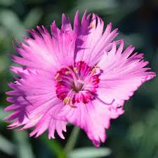 dianthus old fashioned pink seed