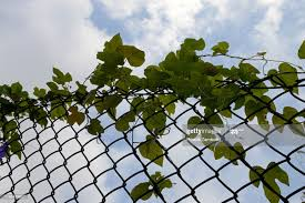 Wire Fence With Climbing Plant High Res Stock Photo Getty Images