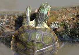 Red Eared Sliders In Ponds Options And Setup