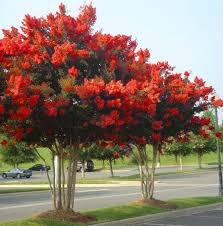 Red Rocket Crape Myrtle | Myrtle tree, Flowering trees, Fast growing trees