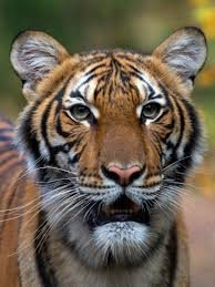 Bronx Zoo Tiger Is Sick With the ...