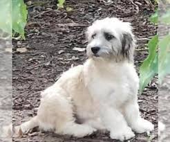 catahoula leopard dog shih tzu mix dog