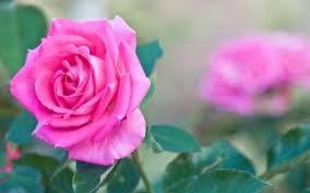 171 pink rose hd wallpapers