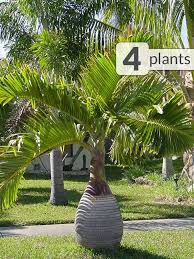 4 bottle palm trees hyophorbe tropical