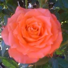 Sonia Rose | Beautiful flowers, Rose, Flowers