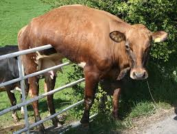 Cow On The Fence Blank Template Imgflip