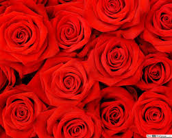 ظهور الورود الحمراء تنزيل خلفية Hd