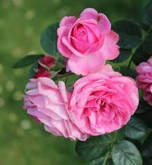 ورد لون وردي اللون الوردى فى الورد شوق وغزل