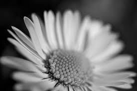 sunflower black white free stock photo