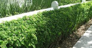 A Robust Hedge Defined By A Colonial Post And Rail Fence Post And Rail Fence Living Fence Hedges