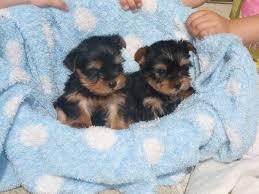 alpine dachsbracke puppies