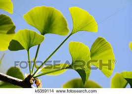 Gingko Biloba leaves Picture | k6359114 | Fotosearch