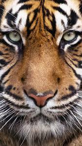 خلفيات Eroo على تويتر خلفيات حيوانات Hd Tiger