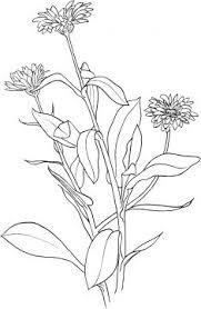 Marigold 6 Kleurplaten Bloemen Tekenen Gratis Kleurplaten