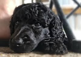 cadeau standard poodles puppies