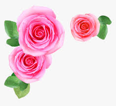 pink rose flowers png image free