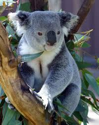 Koala Bear | Wesley McDonald | Flickr