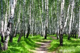 Path In A Birch Forest Wall Mural Pixers We Live To Change