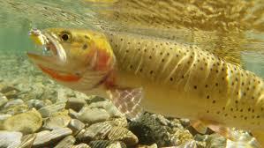 41 hd trout wallpaper on wallpapersafari