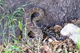 How To Keep Rattlesnakes Away Desertusa
