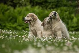 Training Livestock Guardian Dogs The Ultimate Guide For Love Of Livestock