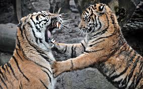 تحميل خلفيات نمور سومطرة الحيوانات المفترسة النمر المعركة القطط
