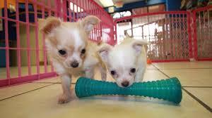 long hair chihuahua puppies