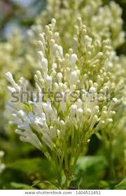 Lilac Agnes Smith Latin Name Syringa Stock Photo (Edit Now) 1404511451