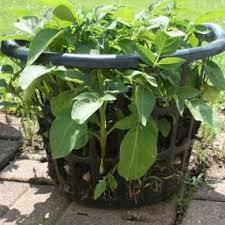 potato possibilities the backyard