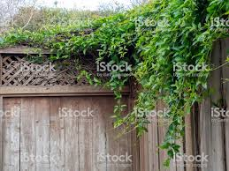Shrubbery Vines Leaves Branches Growing Over The Wooden Fence Of Home Stock Photo Download Image Now Istock