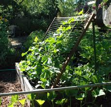 Cucumbers Climbing Tradgard