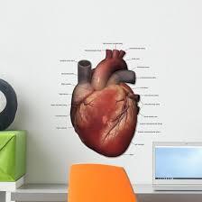 Anterior Human Heart Anatomy Labeled Wall Decal Wallmonkeys Com