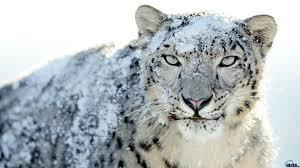 pics photos snow leopard wallpaper