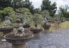 juniper bonsai tree gardenerdy