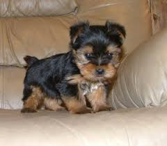 pure bred yorkie puppies available