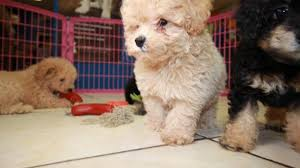super adorable toy poodle puppies for