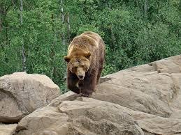 Cate ceva despre ursul brun (Ursus arctos)
