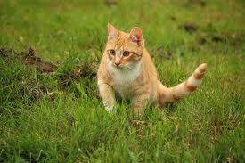 Imagen gratis: hierba, Linda, naturaleza, animal, gato, felino ...