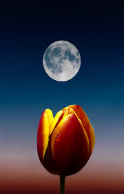 phone wallpapers hd moon flower