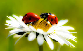 Free download Two ladybugs on a white flower HD Animals Wallpapers ...