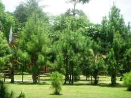 Pine Trees That Grow In Philippines Google Search Tree Pine Tree Philippines