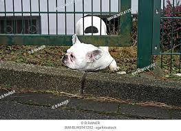 Bulldog Creeping Fence Stock Photos And Images Agefotostock
