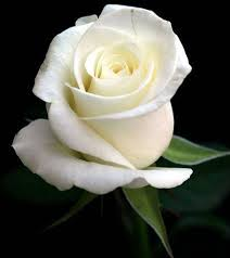 White Romance (With images) | Beautiful roses, White roses ...