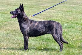 Dutch Shepherd - Wikipedia