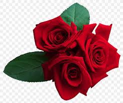 rose wallpaper png 1439x1214px rose