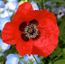 papaver species greek poppy