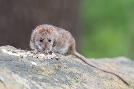 How To Deter Rats Naturally Natural Pest Control Ideas Primrose Blog