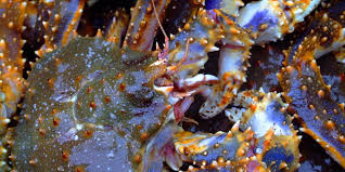 Russian scientists seek sharp increase in blue king crab quota for 2015
