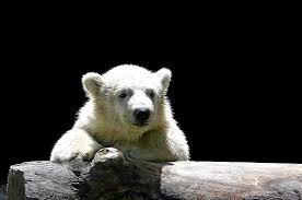 Hd Wallpaper White Polar Bear Leaning On Fence Polar Bear Child Young Polar Bear Wallpaper Flare