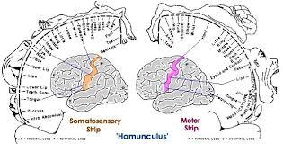 homunculus brain